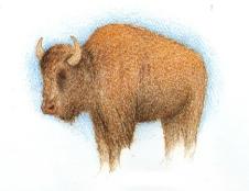 Bison, by Eli Clark