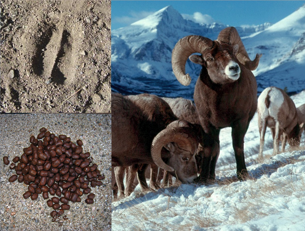 bighorn sheep | gary d. robson