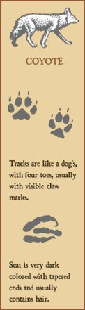 Coyote scat and tracks