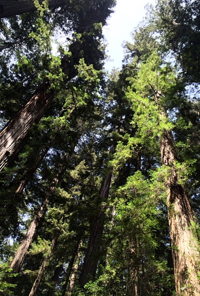 I took this picture of a redwood grove in Hendy Woods State Park during the research trip.