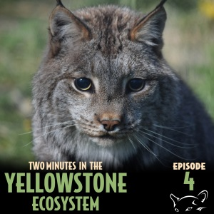 Episode_4_-_Bobcat_vs_Lynx