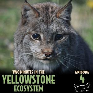 Episode_4_-_Bobcat_vs_Lynx